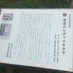 養父市建屋にあるヒダリマキカヤの木の説明板1