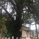 養父市能座にあるヒダリマキガヤの木